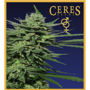 Amsterdam - feminized seeds, Fruity Thai, Trans love energies - feminized seeds, Viper- Regular seeds, White Panther - feminized seeds, Zenta - Regular seeds, Super automatic haze, Super automatic kush, Super automatic skunk