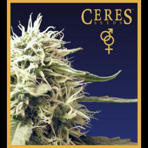 Ceres Kush - Regular seeds, Ceres Skunk - Regular seeds, Fruity Thai - Regular seeds, Lemonesia - Regular seeds, White Indica - Regular seeds,Hollands hope, Orange bud, Purple, Skunk Haze, White widow