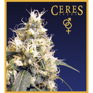 Ceres Skunk - regular seeds