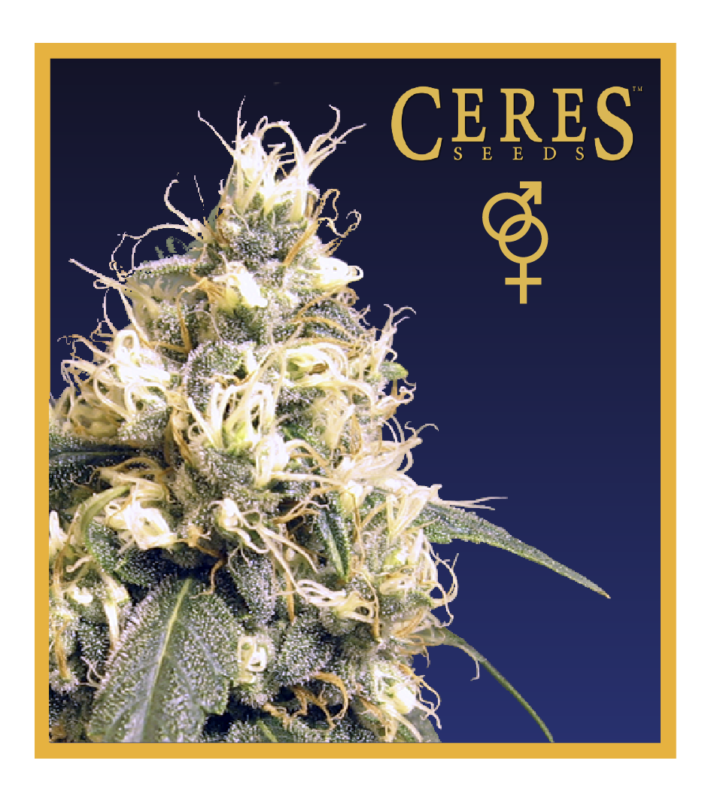 White panther - Regular seeds, Fruity Thai, Northern Lights - Regular seeds, Ceres regular seeds mix - Regular seeds,Hollands hope, Orange bud, Purple, Skunk Haze, White widow