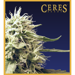 Ceres Kush - regular seeds