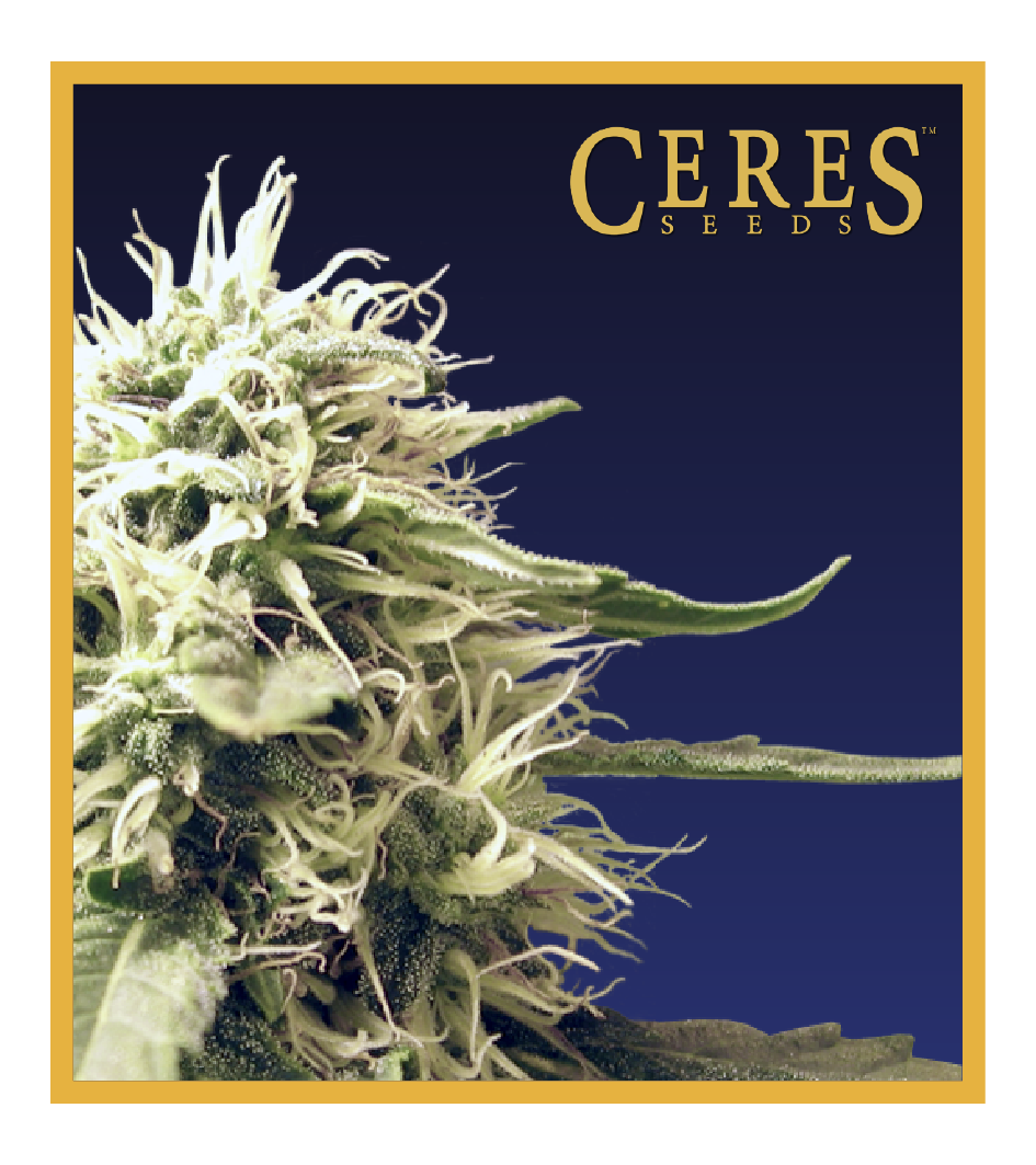 Ceres Kush - Cannabis Seeds - Ceres Seeds Amsterdam