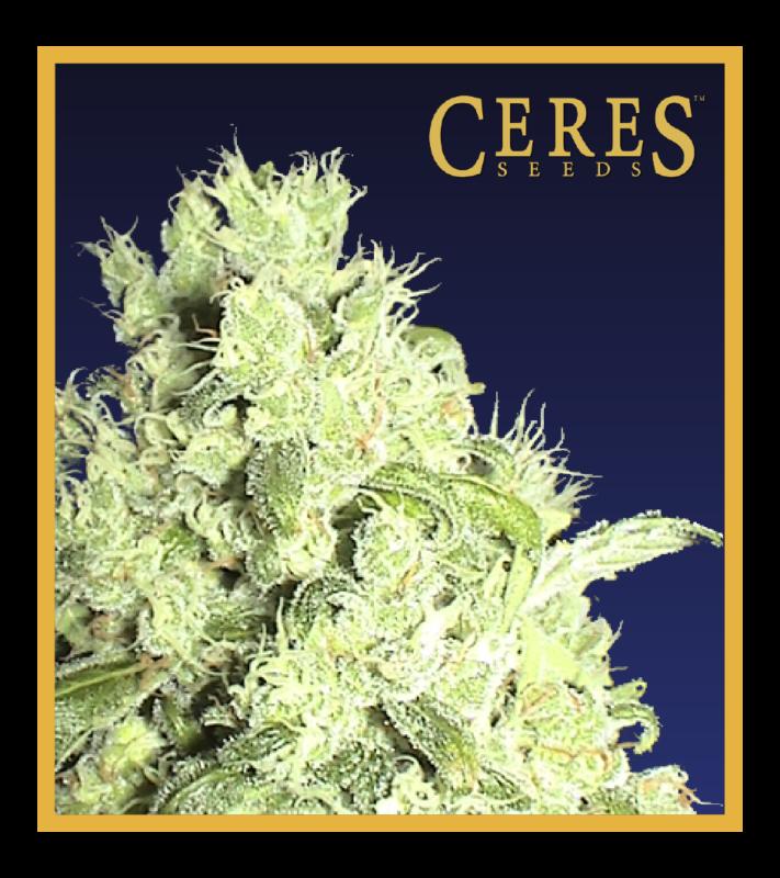 Hollands hope, Orange bud, Purple, Skunk Haze, White widow,Ceres Kush - Regular seeds, Ceres Skunk - Regular seeds, Fruity Thai - Regular seeds, Lemonesia - Regular seeds, White Indica - Regular seeds,