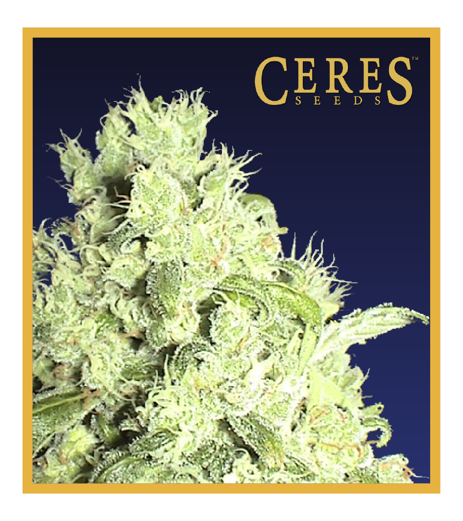 White Indica - Cannabis Seeds - Ceres Seeds Amsterdam