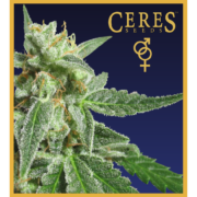 White panther - feminized seeds, Fruity Thai, Northern Lights - feminized seeds, Ceres regular seeds mix - feminized seeds, Hollands hope, Orange bud, Purple, Skunk Haze, White widow