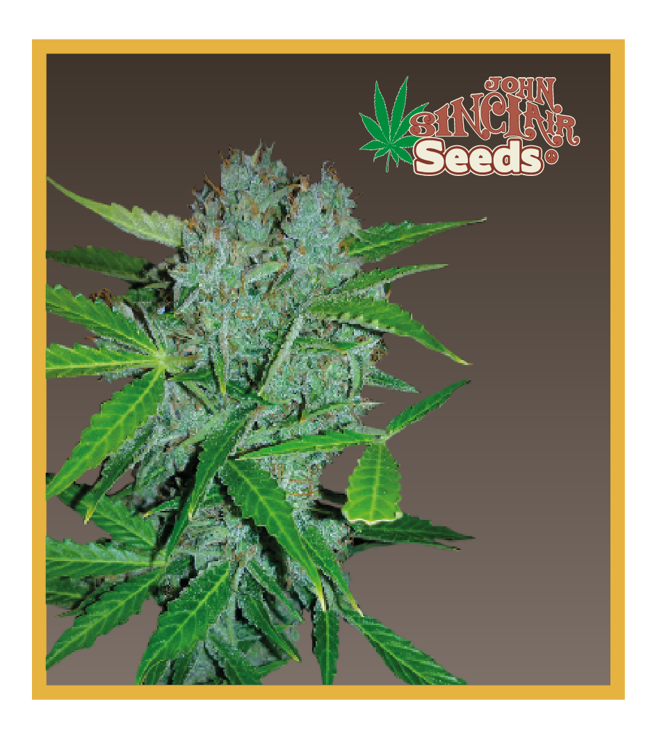 Amsterdam - Cannabis Seeds - John Sinclair Seeds Amsterdam