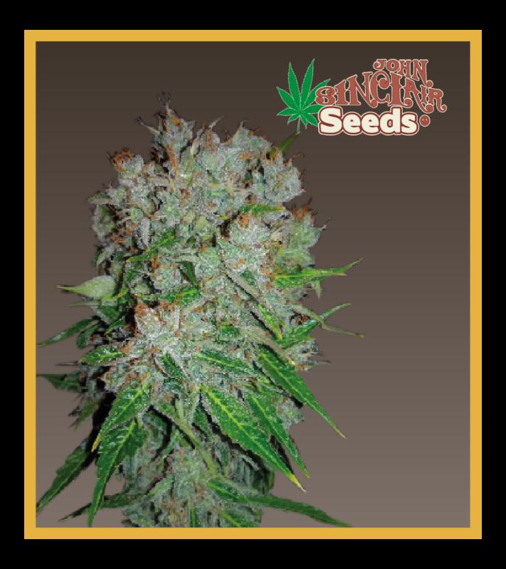 Hollands hope, Orange bud, Purple, Skunk Haze, White widow,Amsterdam - Regular seeds, Fruity Thai, Trans love energies - Regular seeds, Viper- Regular seeds, White Panther - Regular seeds, Zenta - Regular seeds,