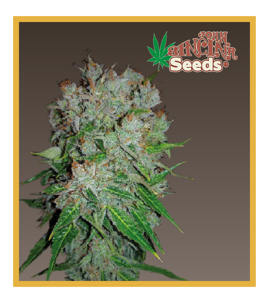 Viper - Cannabis Seeds - John Sinclair Seeds