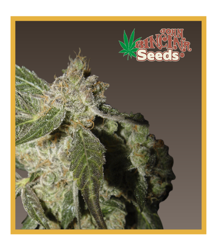 Hollands hope, Orange bud, Purple, Skunk Haze, White widow,White panther - feminized seeds, Fruity Thai, Northern Lights - feminized seeds, Ceres regular seeds mix - feminized seeds