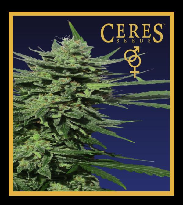 Lemonesia - Regular Cannabis Seeds - Ceres Seeds Amsterdam