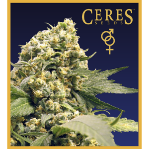 Ceres Kush- feminized seeds, Ceres Skunk - feminized seeds, Fruity Thai - feminized seeds, Lemonesia - feminized seeds, White Indica - feminized seeds,Hollands hope, Orange bud, Purple, Skunk Haze, White widow