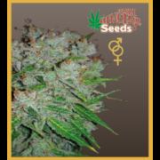 White panther - feminized seeds, Fruity Thai, Northern Lights - feminized seeds, Ceres regular seeds mix - feminized seedsHollands hope, Orange bud, Purple, Skunk Haze, White widow