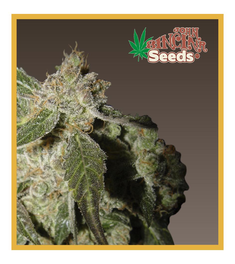 White Panther - Cannabis Seeds - John Sinclair Seeds Amsterdam