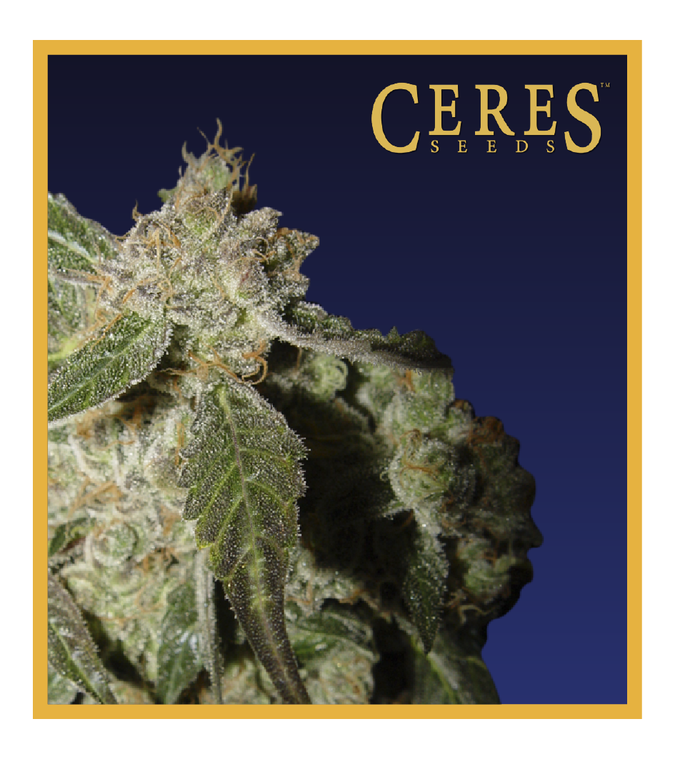 White Panther - Cannabis Seeds - Ceres Seeds Amsterdam