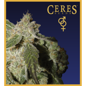 Ceres Kush - Regular seeds, Ceres Skunk - Regular seeds, Fruity Thai - Regular seeds, Lemonesia - Regular seeds, White Indica - Regular seeds, Super automatic haze, Super automatic kush, Super automatic skunk