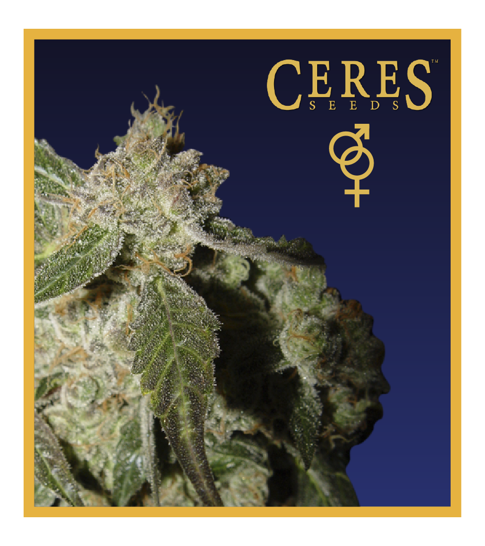White Panther - Regular Cannabis Seeds - Ceres Seeds Amsterdam
