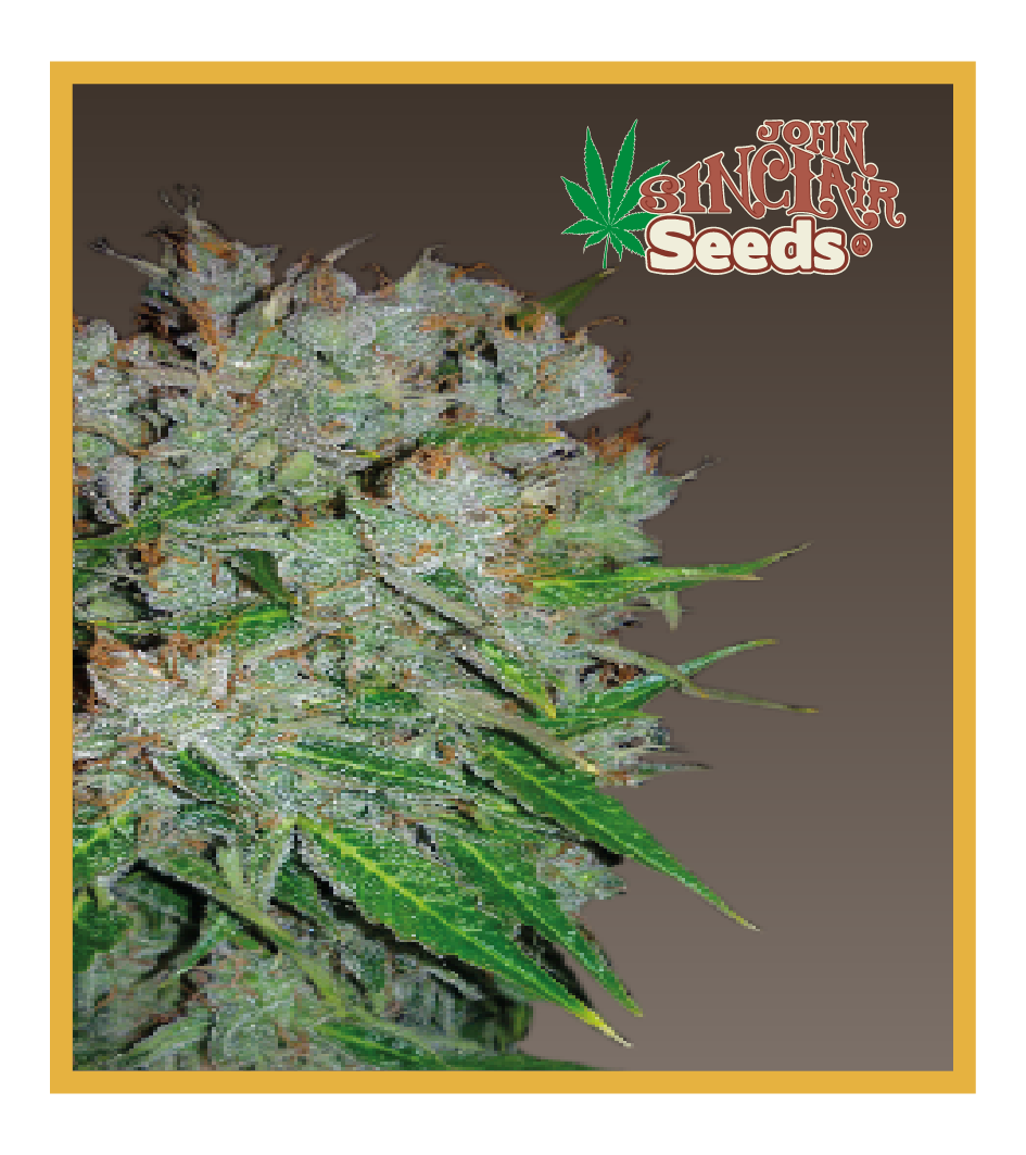 Viper - Cannabis Seeds - John Sinclair Seeds Amsterdam