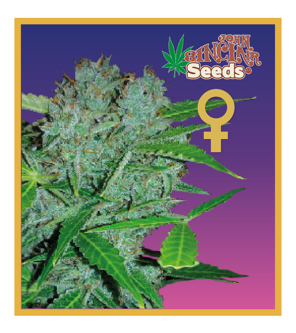 Amsterdam - Feminized Cannabis Seeds - John Sinclair Seeds