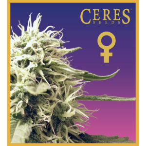 Ceres Kush - feminized