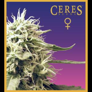 Ceres Kush - Feminized Cannabis Seeds - Ceres Seeds Amsterdam