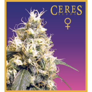 Ceres Skunk feminized seeds