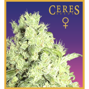 White Indica - feminized seeds
