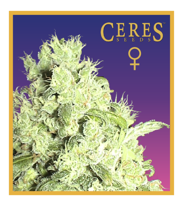 White Indica - Feminized Cannabis Seeds - Ceres Seeds Amsterdam