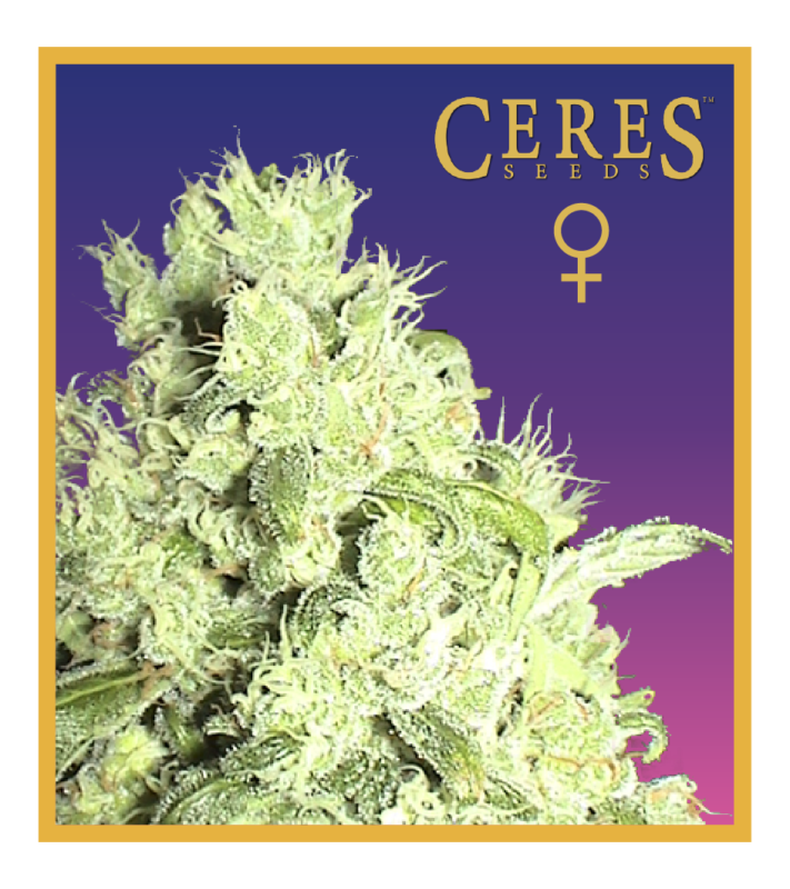 Amsterdam - Regular seeds, Fruity Thai, Trans love energies - Regular seeds, Viper- Regular seeds, White Panther - Regular seeds, Zenta - Regular seeds,Hollands hope, Orange bud, Purple, Skunk Haze, White widow