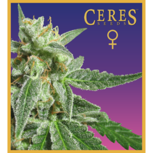 Fruity Thai - feminized seeds