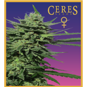 Lemonesia - feminized seeds