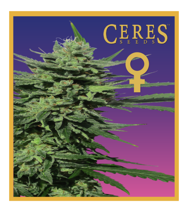 Auto-flowering seeds mix, Auto-lemonesia, Easy rider, Ceres Kush- feminized seeds, Ceres Skunk - feminized seeds, Fruity Thai - feminized seeds, Lemonesia - feminized seeds, White Indica - feminized seeds,