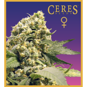 Northern Lights X Skunk #1 feminized seeds