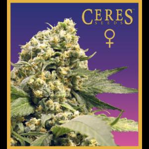 Northern Lights X Skunk #1 - Feminized Cannabis Seeds - Ceres Seeds Amsterdam