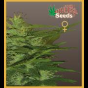Ceres Kush - Regular seeds, Ceres Skunk - Regular seeds, Fruity Thai - Regular seeds, Lemonesia - Regular seeds, White Indica - Regular seeds, Super automatic haze, Super automatic kush, Super automatic skunk