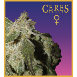White Panther - Feminized Cannabis Seeds - Ceres Seeds Amsterdam